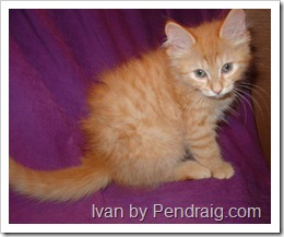 Image  of red tabby Siberian cat Ivan.