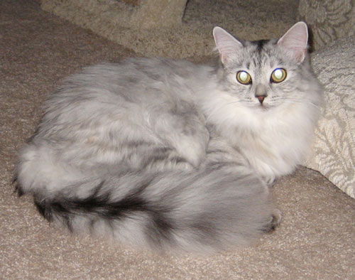 Pendraig Siberian's own Sophie a lovely and rare silver shaded torbie Siberian cat that resides with her beloved owners in California.  Pendraig specializes in silver Siberian cats as well as our beloved red.  Contact us today for a Silver Siberian of your very own!