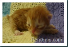 Image of Red Spotted Siberian kitten.