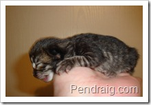 Image of tiger striped Siberian kitten.