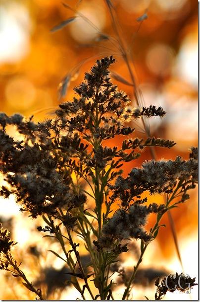 golden mustard weed-1