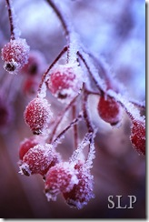 rose hips-ice crystals
