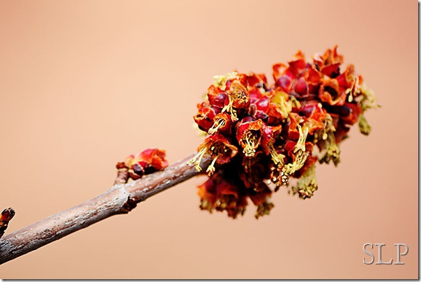 maple tree buds-w