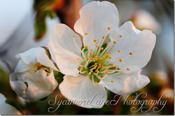 Cherry blossom-w