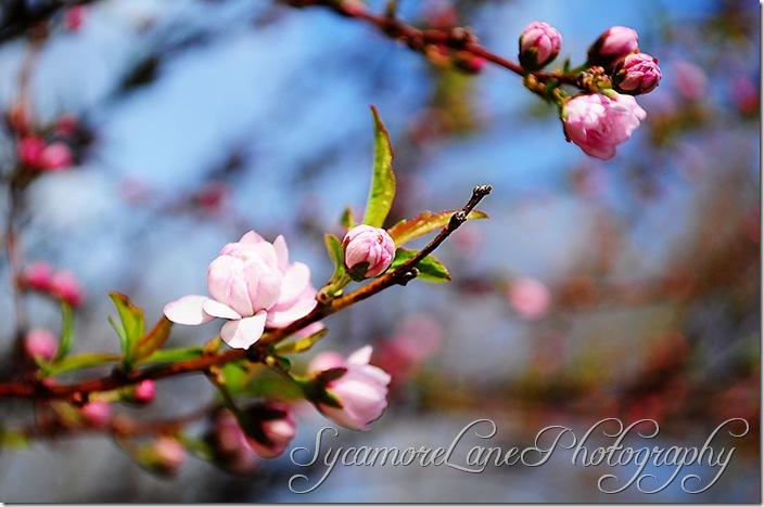 Sweet Almond-w