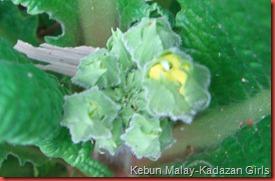 polyanthus (3)