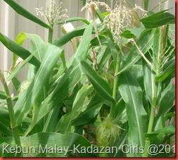 Kisah jagung (5)