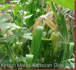 Kisah jagung (6)