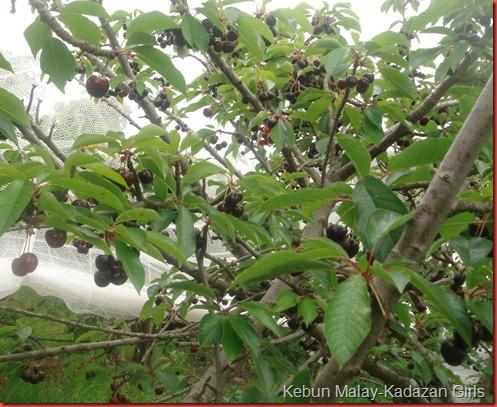 Cherry Picking (23)