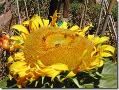 Sunflower - giant russian - open head