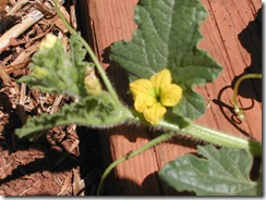 Cucumber - burbless - flower and growing tip