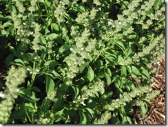 Basil - sweet - flowering
