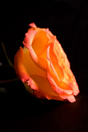 orange-rose-side-on-black3