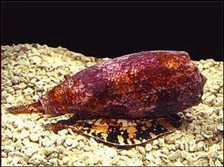 Conus-geographicus