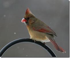 cardinal f