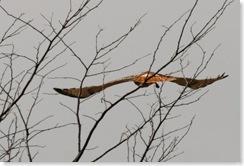 redtailwings