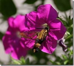 hummingbird moth4
