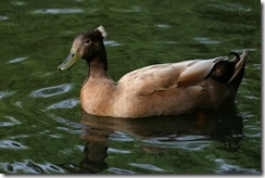 duckbrown