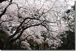 Sakura, new life, new wish