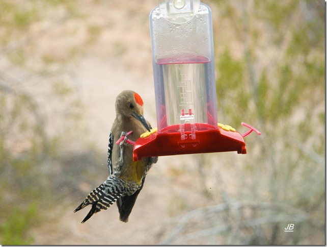 Gila Woodpecker invasion