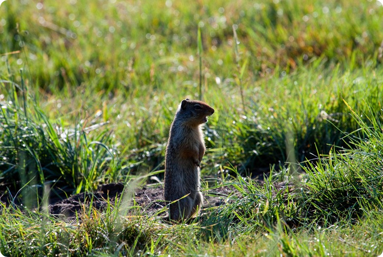 Columbian Ground Squirrel-1