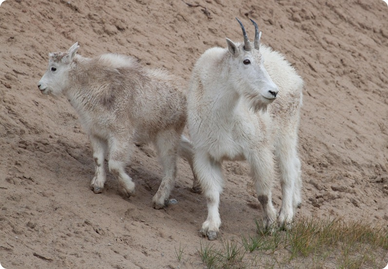 Icefield Parkway - Goat-1