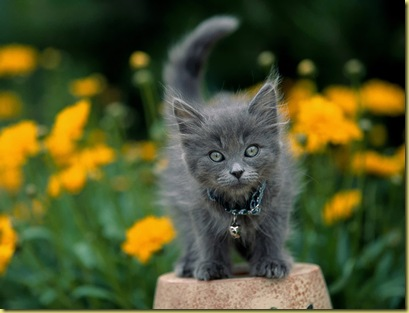 0Garden_Keeper_Gray_Kitten