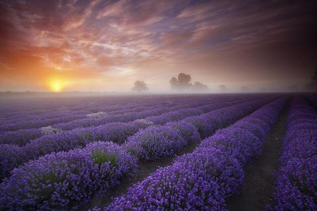 [lavender sunrise[5].jpg]