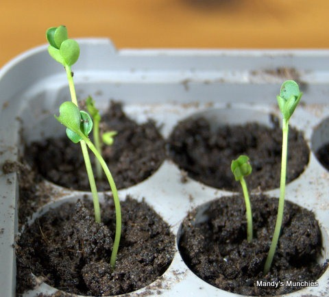 [07-03 Broccoli sprouted.jpg]
