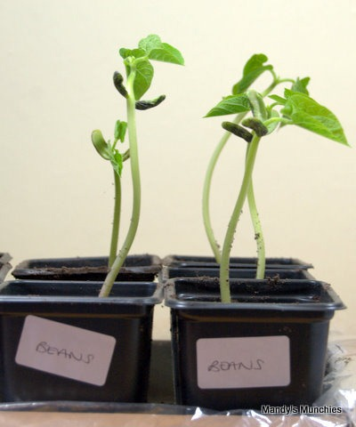 [13-03 French beans repotted[2].jpg]