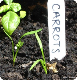Carrot close 13 June