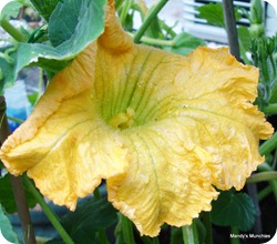 Squashflower25July