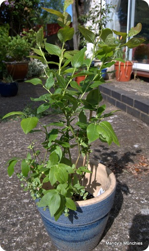 New blueberry 1 June
