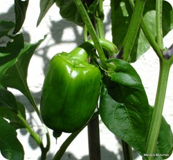 Pepper21Aug