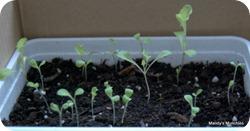 Lettuce 18 May