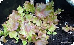 Lettuce 13 June