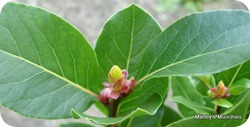 16-04 Bay tree leaves