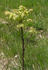 walnut seedling
