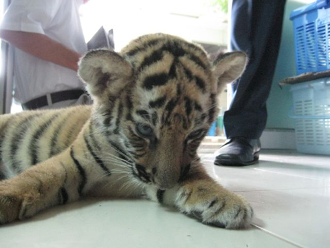 Tiger Cub Smuggled