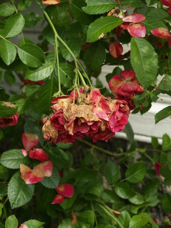2010-07-21 Rosa 'Flammentanz' (8)