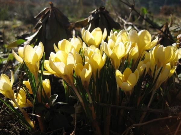 2010-03-29 Vårblomster i sola (10)
