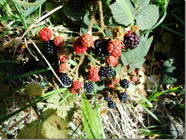 Blackberries ripening in the sun