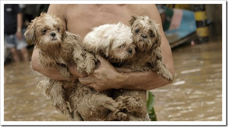 rescuing the shih-tzus