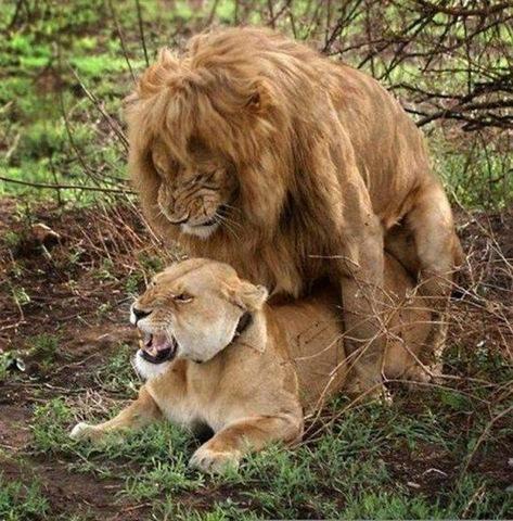 [apareamiento leon[4].jpg]