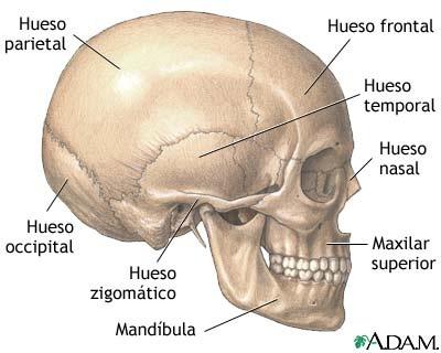 [huesos de la cara2[4].jpg]