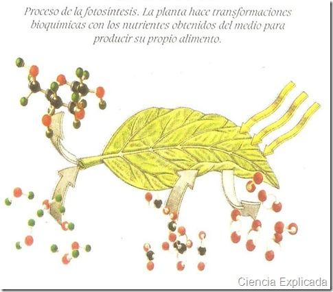 proceso de la fotosintesis