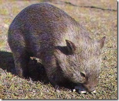 marsupial australiano
