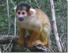 mono del nuevo mundo