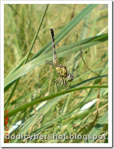 litle dragonfly 03