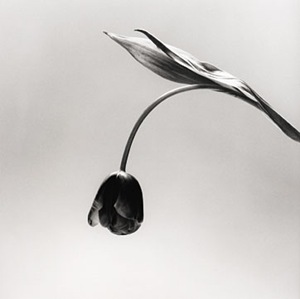 Mapplethorpe--tulip